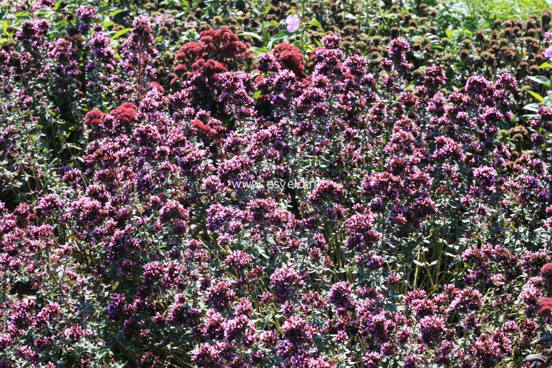 Origanum laevigatum 'Herrenhausen'