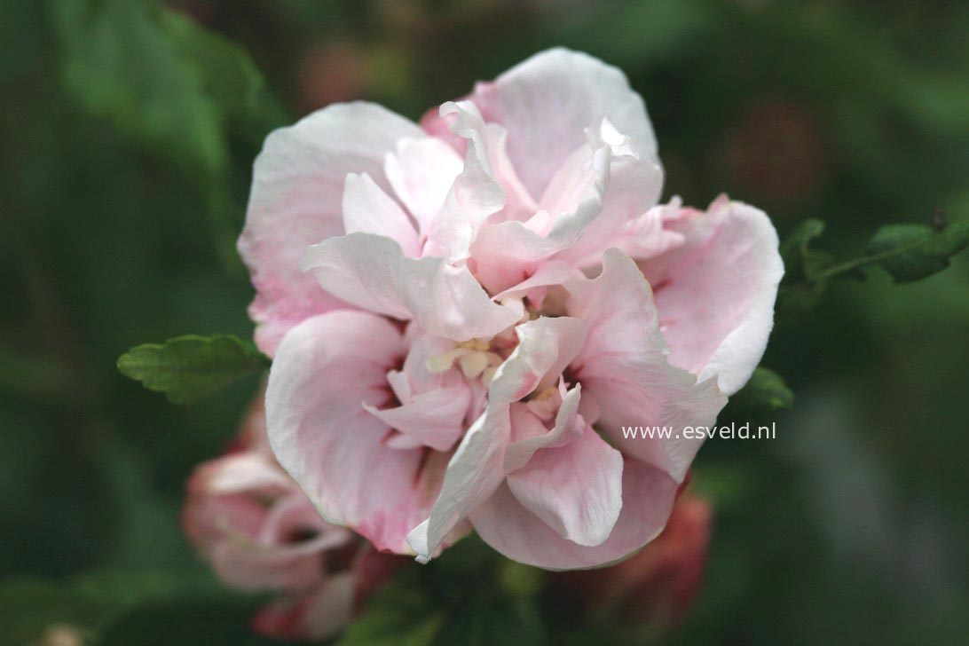 pictures and description of hibiscus syriacus lady stanley. Black Bedroom Furniture Sets. Home Design Ideas
