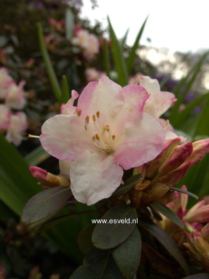 abbildung und beschreibung von rhododendron 39 ginny gee 39. Black Bedroom Furniture Sets. Home Design Ideas