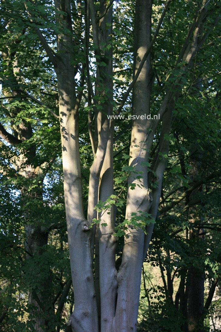 Acer cappadocicum ssp. lobelii