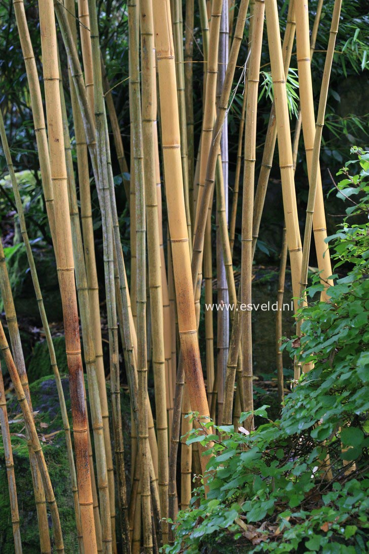pictures and description of phyllostachys vivax. Black Bedroom Furniture Sets. Home Design Ideas