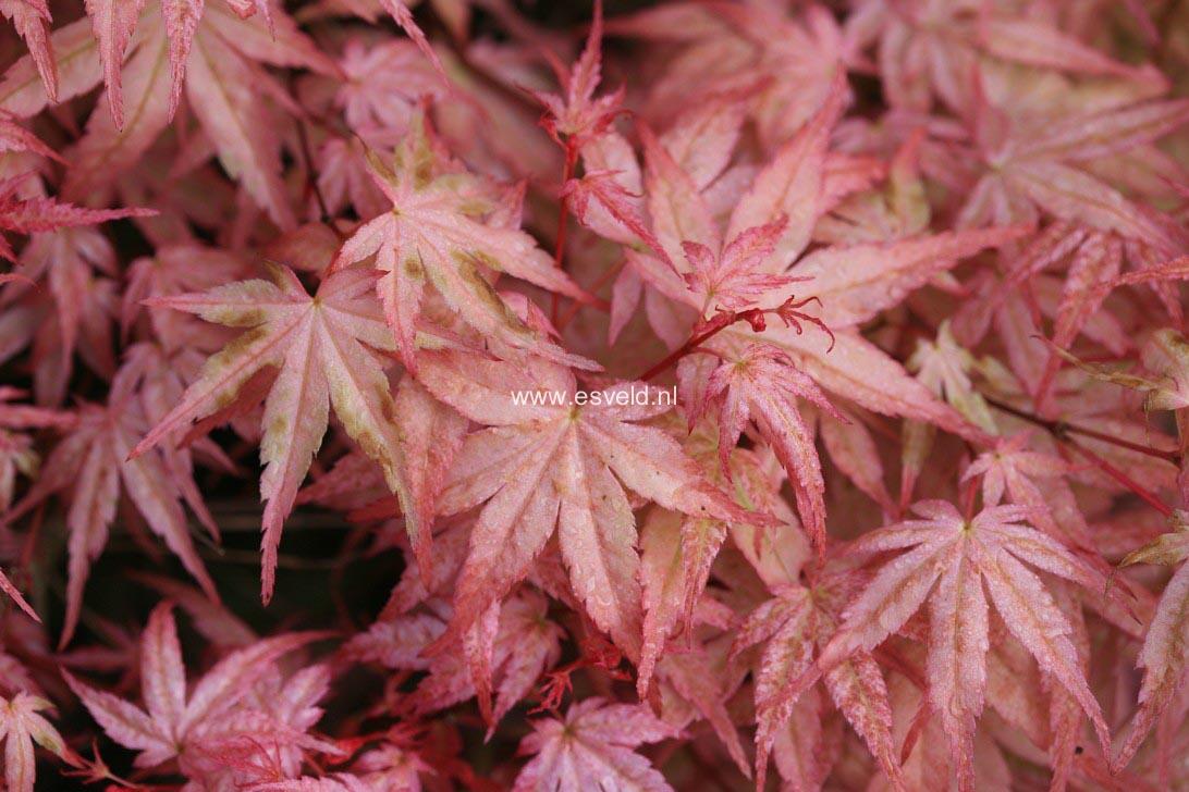 Picture And Description Of Acer Palmatum Beni Tsukasa
