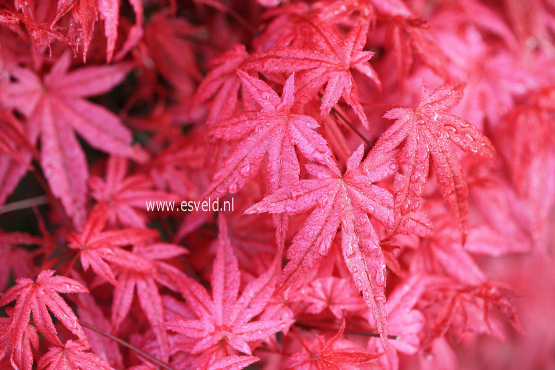 Acer palmatum 'Shin de shohjoh'