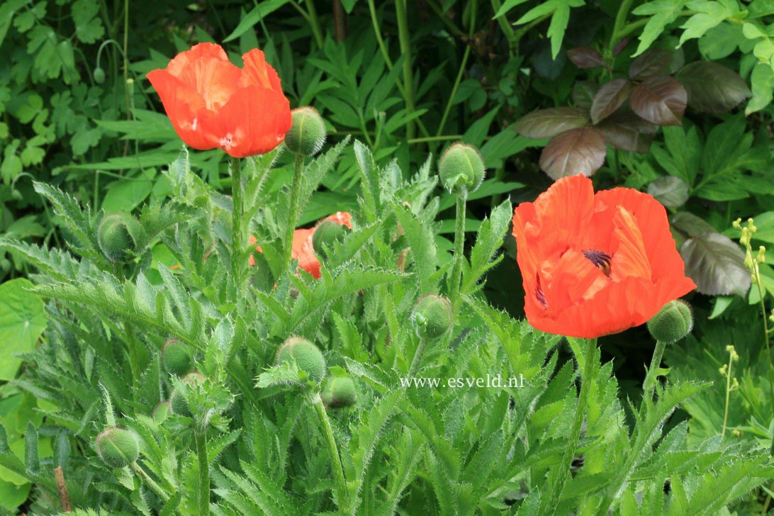 Papaver orientale 'Marcus Perry'