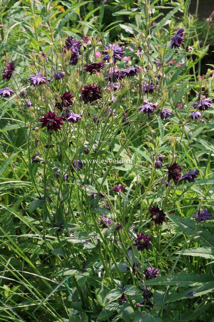Aquilegia vulgaris 'Black Barlow'