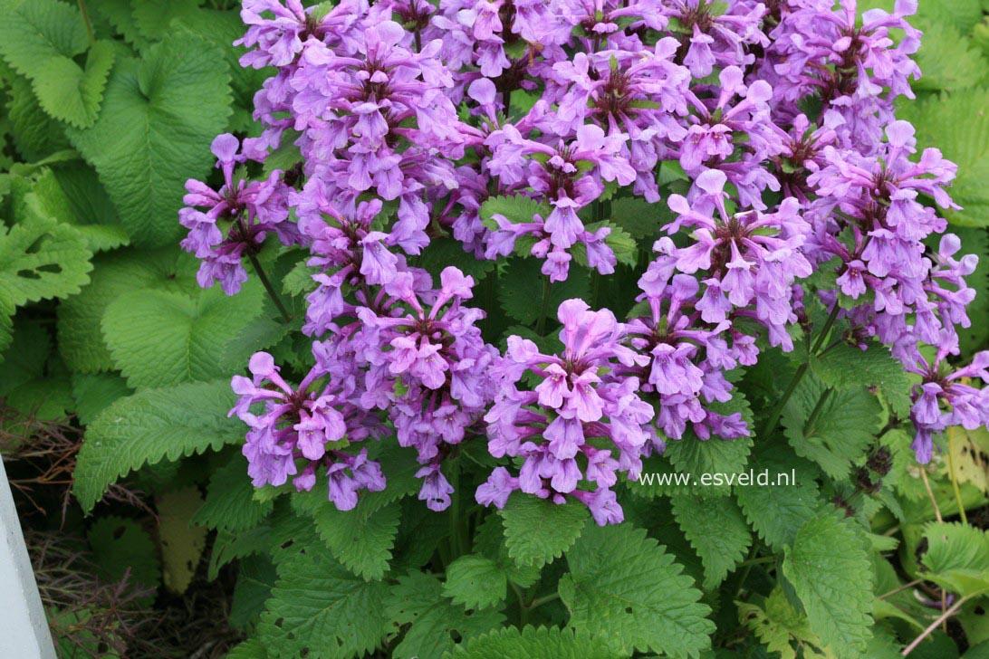 Stachys grandiflora 'Superba'