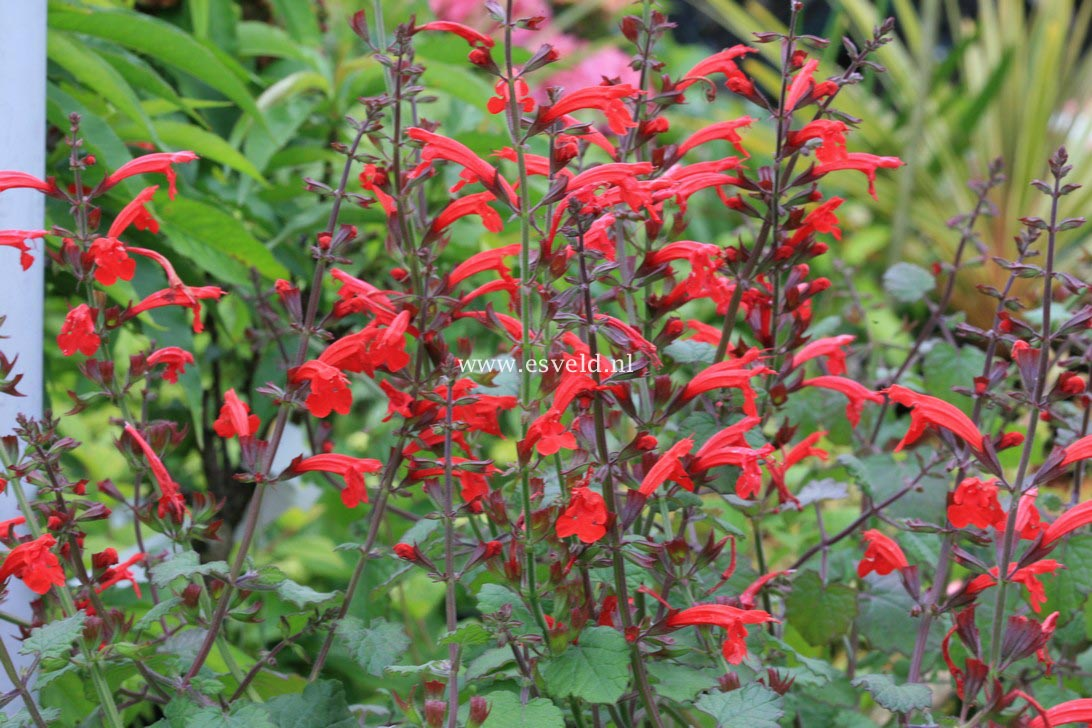 Picture and description of Salvia roemeriana 'Hot Trumpets'