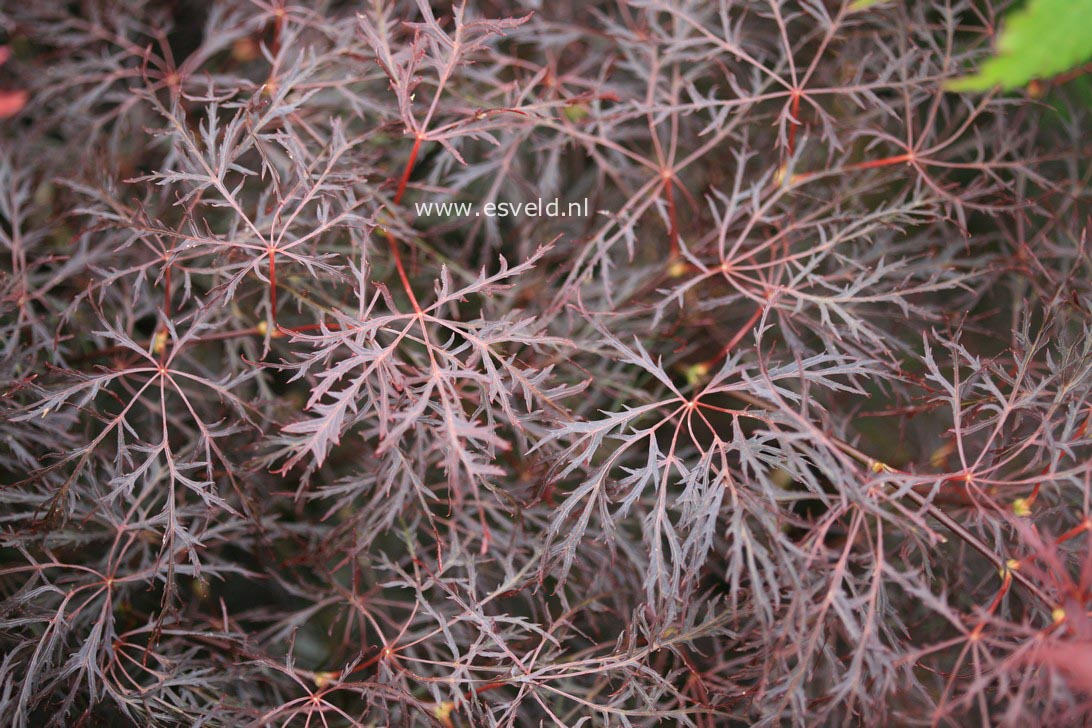 Picture And Description Of Acer Palmatum Red Feathers