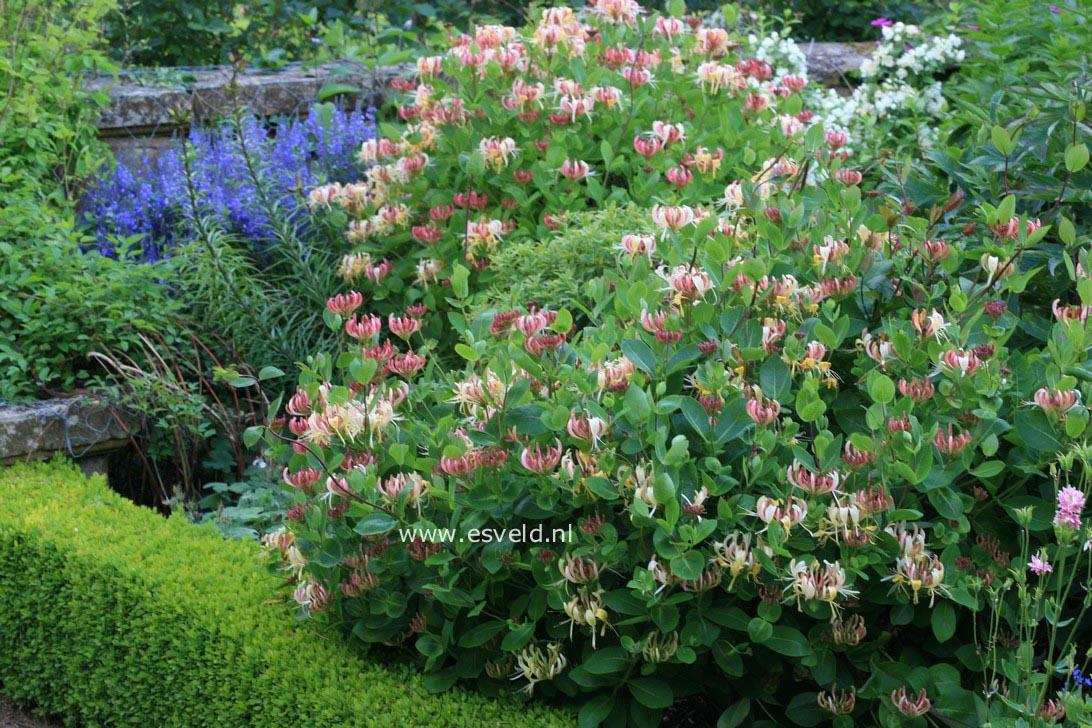 Picture and description of lonicera periclymenum 39 honeybush 39 for Arbustos de jardin nombres
