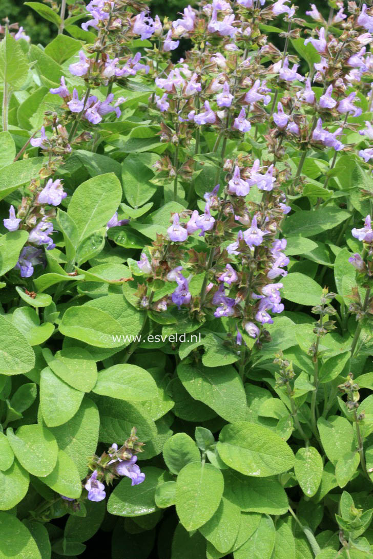 Salvia officinalis 'Berggarten'