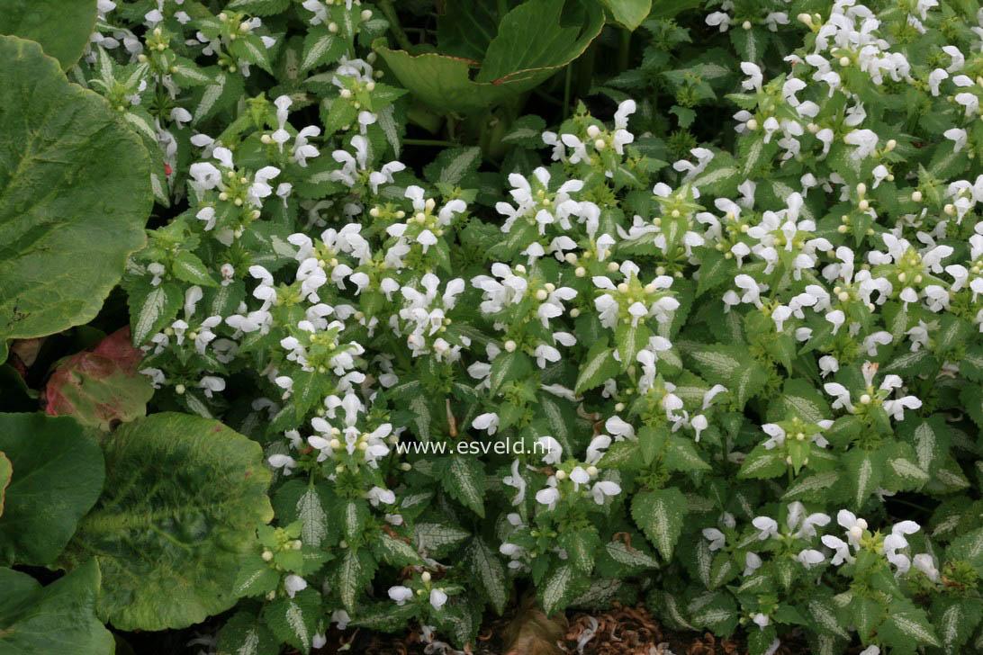 Picture And Description Of Lamium Maculatum White Nancy