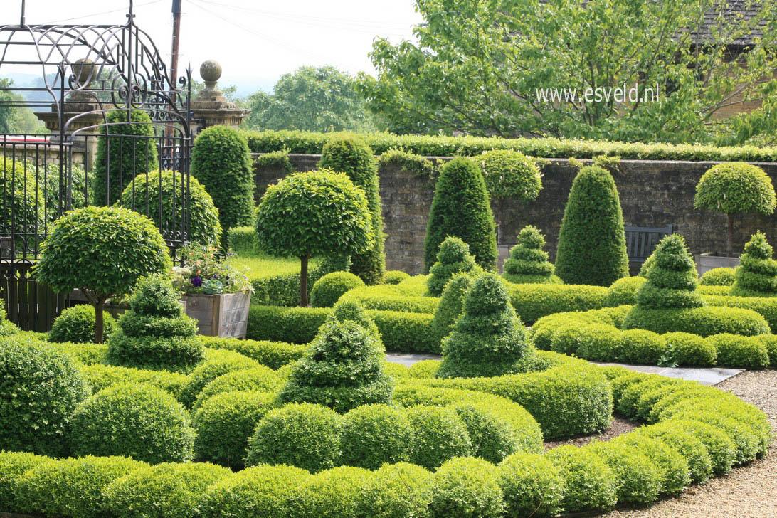 Afbeeldingen en beschrijving van buxus sempervirens - Tuin ontwerp foto ...