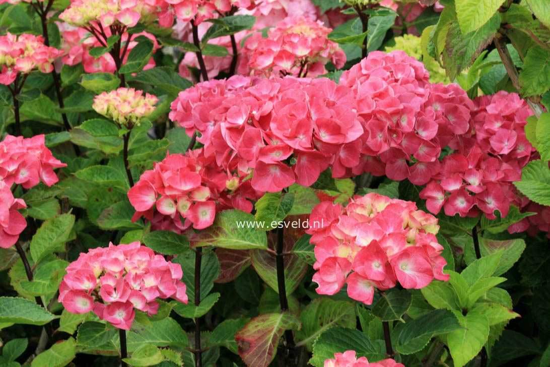 hydrangea macrophylla 39 pink ball 39 black steel. Black Bedroom Furniture Sets. Home Design Ideas