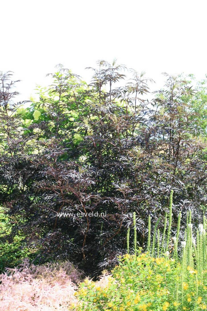 abbildung und beschreibung von sambucus nigra 39 eva 39 black lace. Black Bedroom Furniture Sets. Home Design Ideas