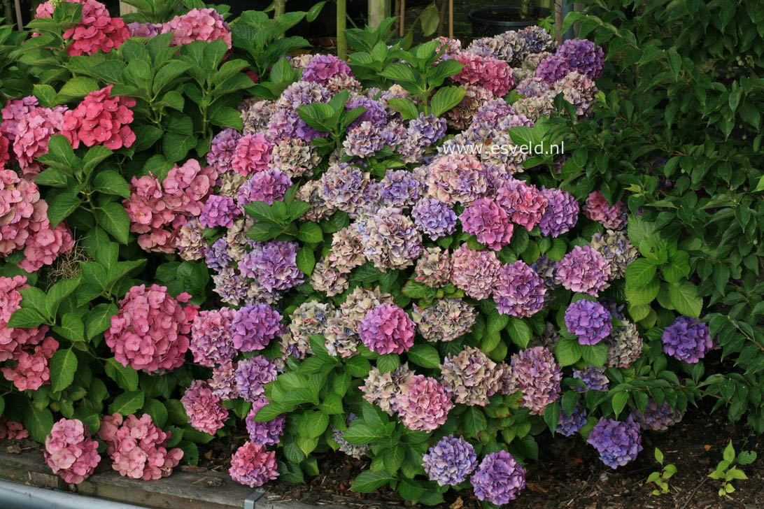 picture and description of hydrangea macrophylla 39 early blue 39. Black Bedroom Furniture Sets. Home Design Ideas