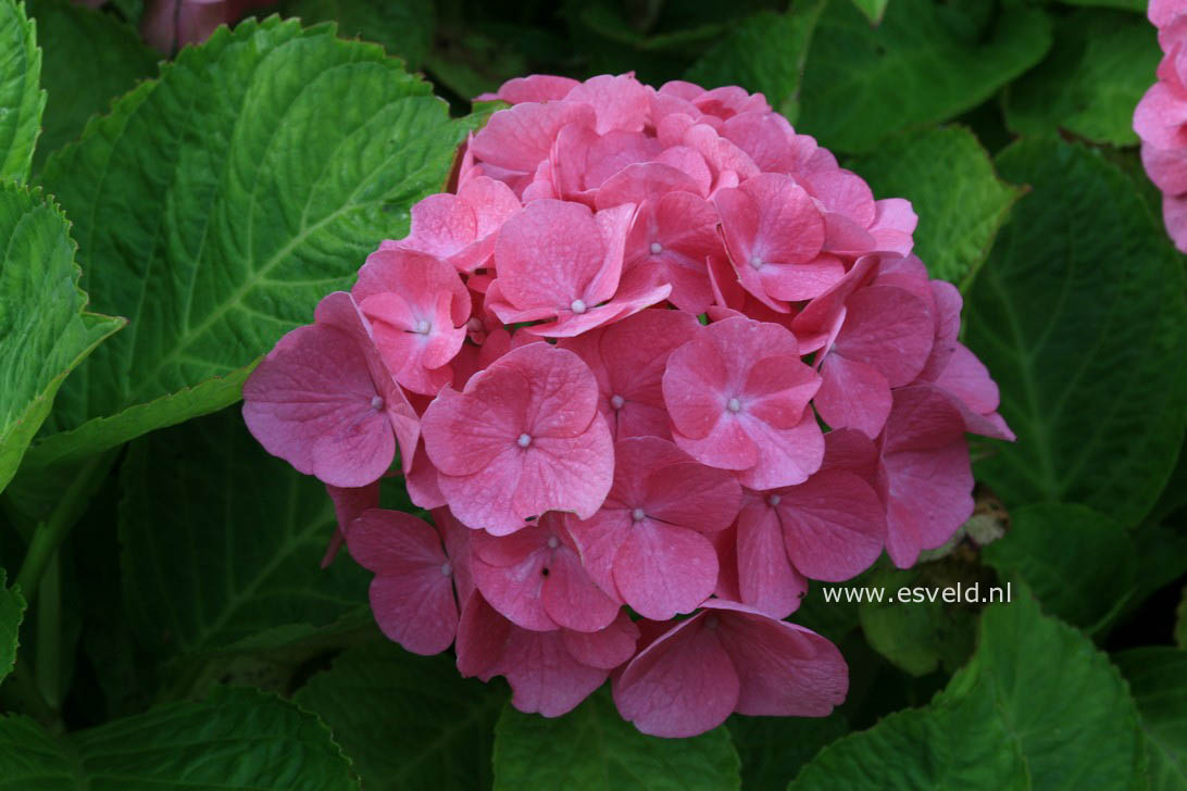 Hydrangea macrophylla 'Tegerfelden'