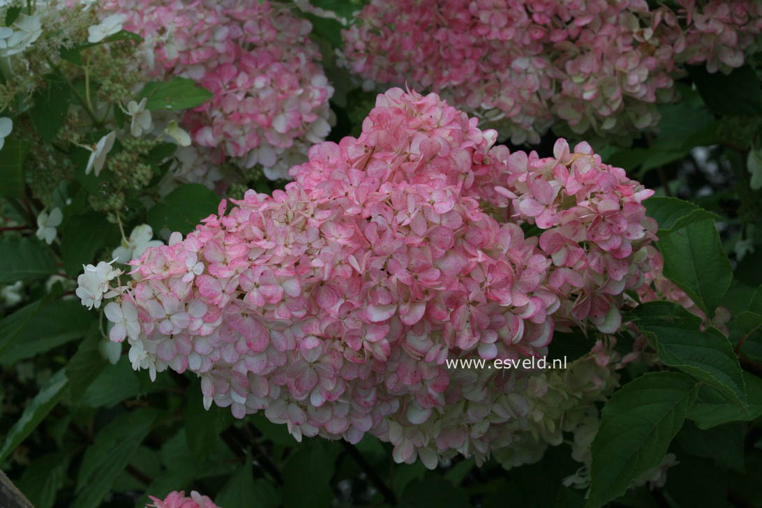 picture and description of hydrangea paniculata 39 renhy. Black Bedroom Furniture Sets. Home Design Ideas