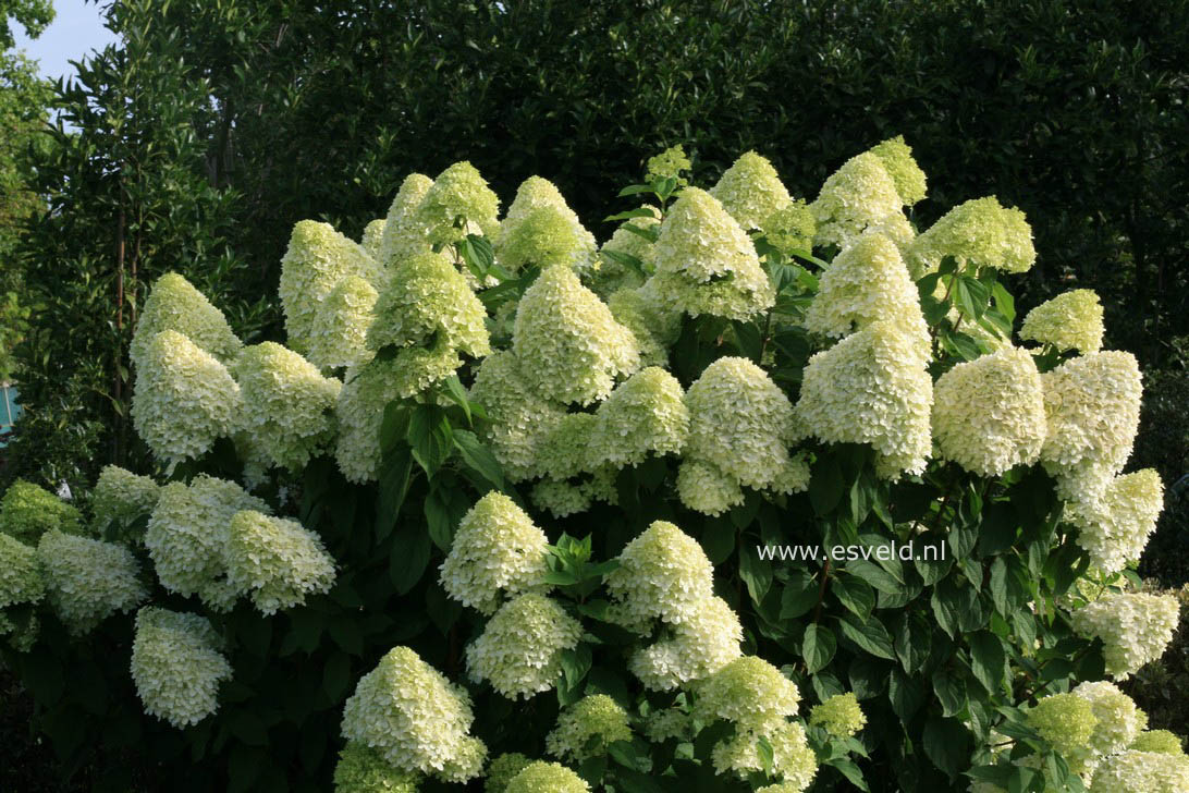 pictures and description of hydrangea paniculata limelight. Black Bedroom Furniture Sets. Home Design Ideas