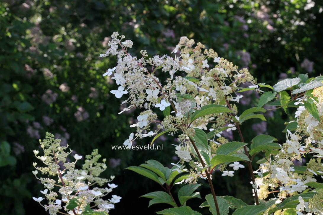 Hydrangea paniculata 'Crug Farm'