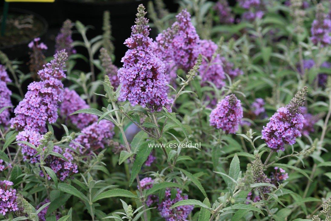 Garden Pots.6208133983_31cdd15818_z Jpg. French Larkspur ...