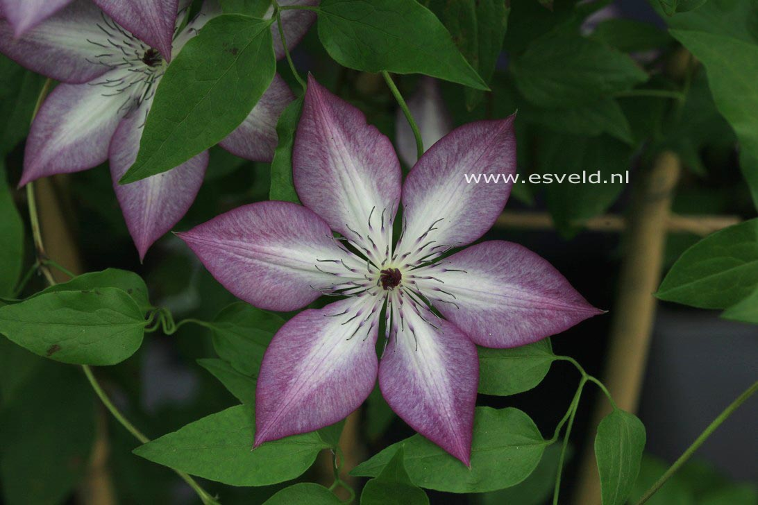 plantenwinkel clematis 39 fond memories 39 success www. Black Bedroom Furniture Sets. Home Design Ideas