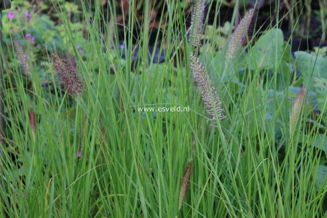 Pennisetum alopecuroides 'Cassian'