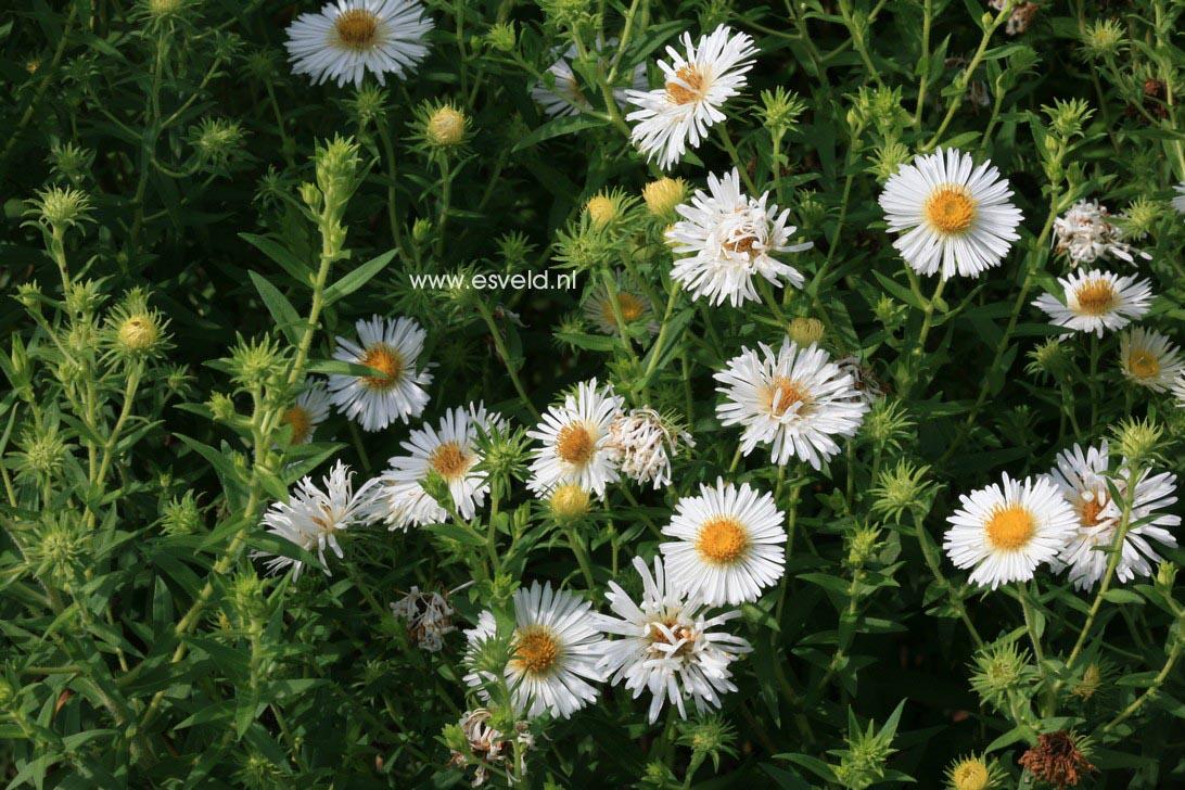 Aster novae-angliae 'Herbstschnee'