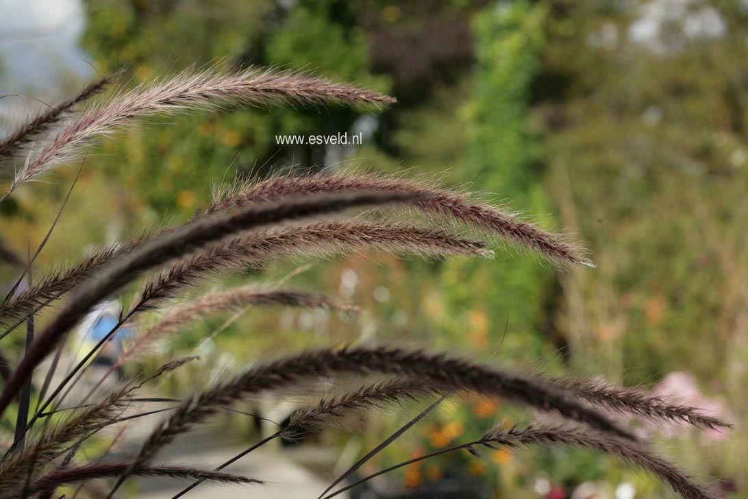 Pennisetum setaceum 'Rubrum'
