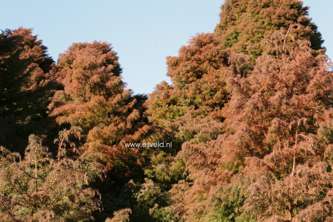 Cryptomeria japonica 'Elegans'