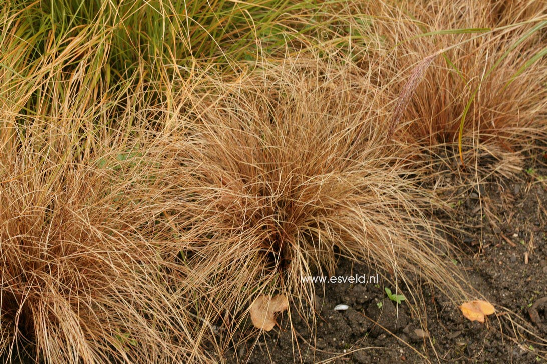 Carex comans 'Bronze Form' (36560)