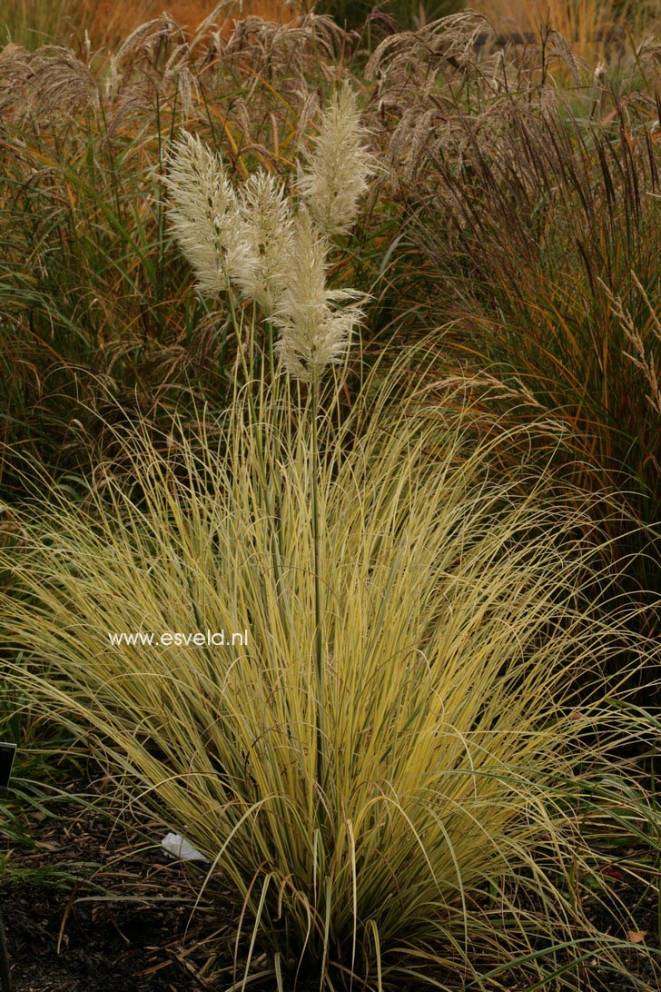 Cortaderia selloana 'Splendid Star'