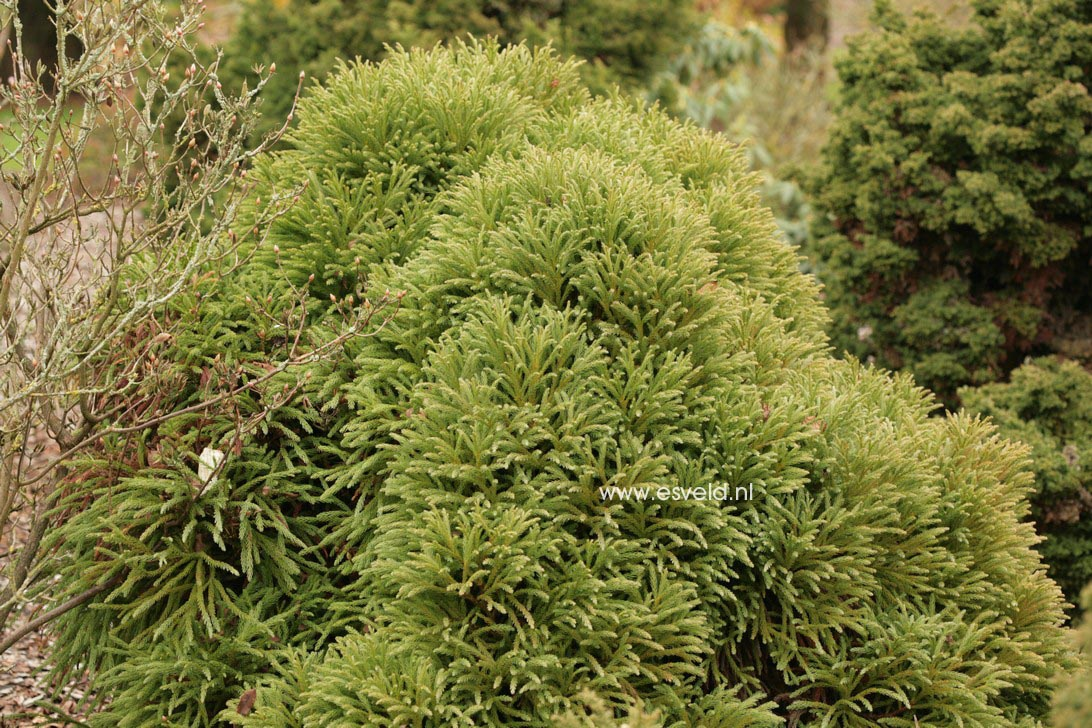 Cryptomeria japonica 'Compacta'