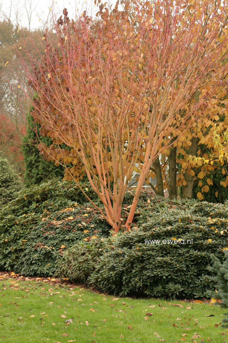 Acer conspicuum phoenix