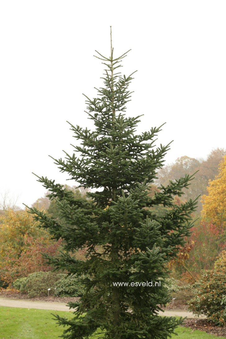 Picture And Description Of Abies Delavayi Green Giant