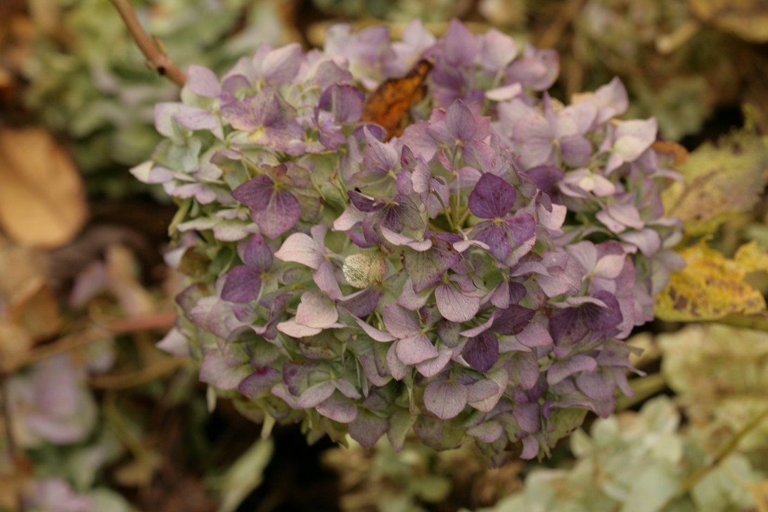 Hydrangea macrophylla 'Marechal Foch'