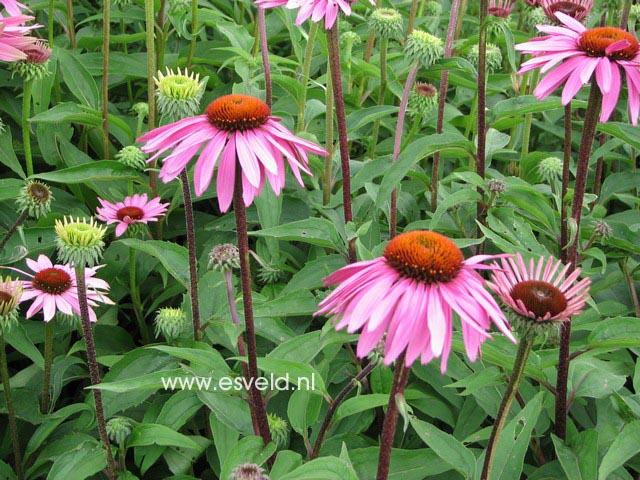 plantenwinkel echinacea purpurea 39 magnus 39. Black Bedroom Furniture Sets. Home Design Ideas