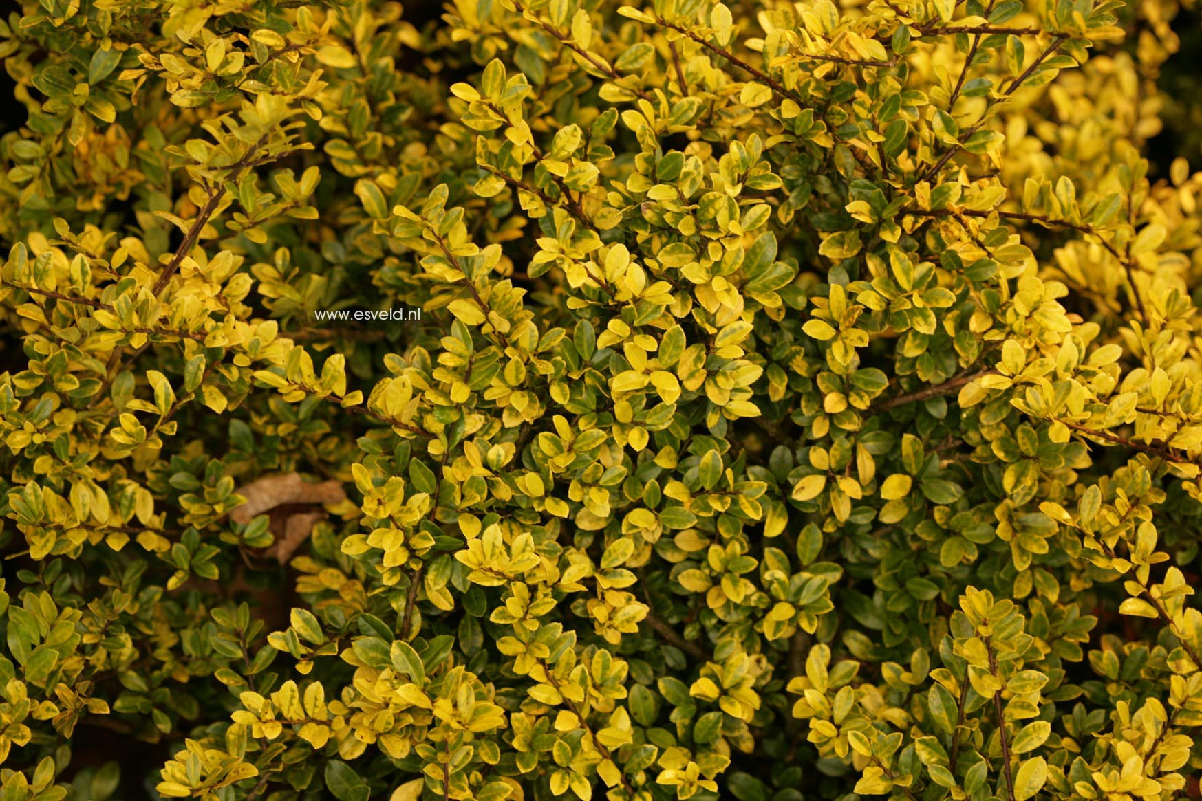 Picture And Description Of Ilex Crenata Golden Gem
