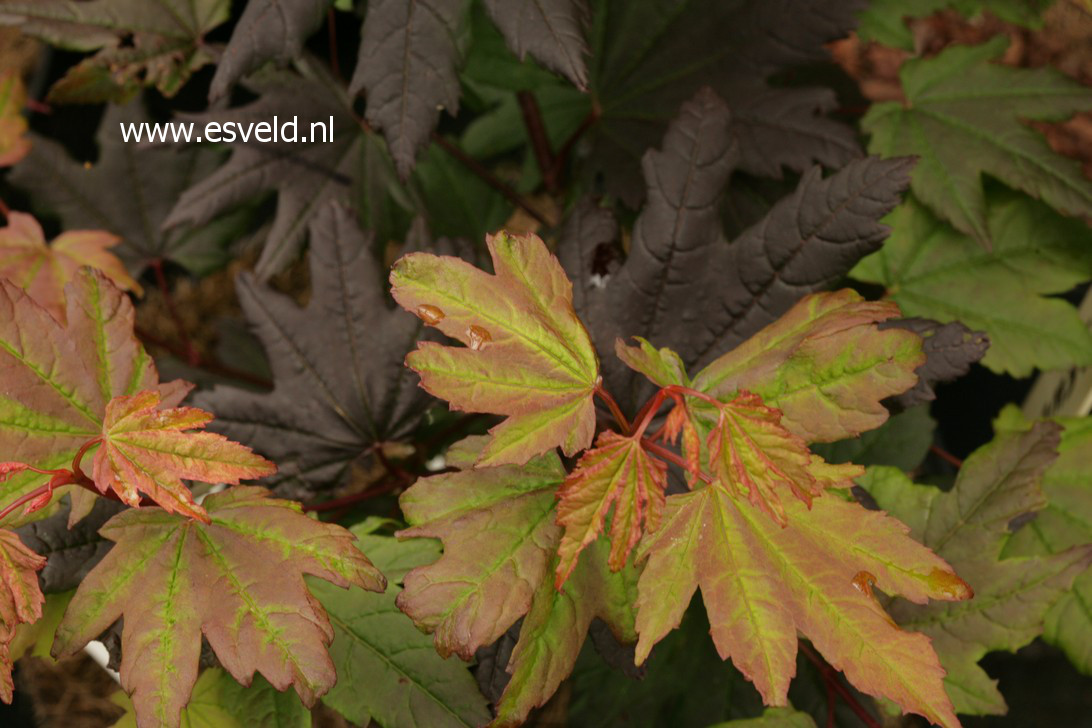 Picture And Description Of Acer Circinatum Burgundy Jewel