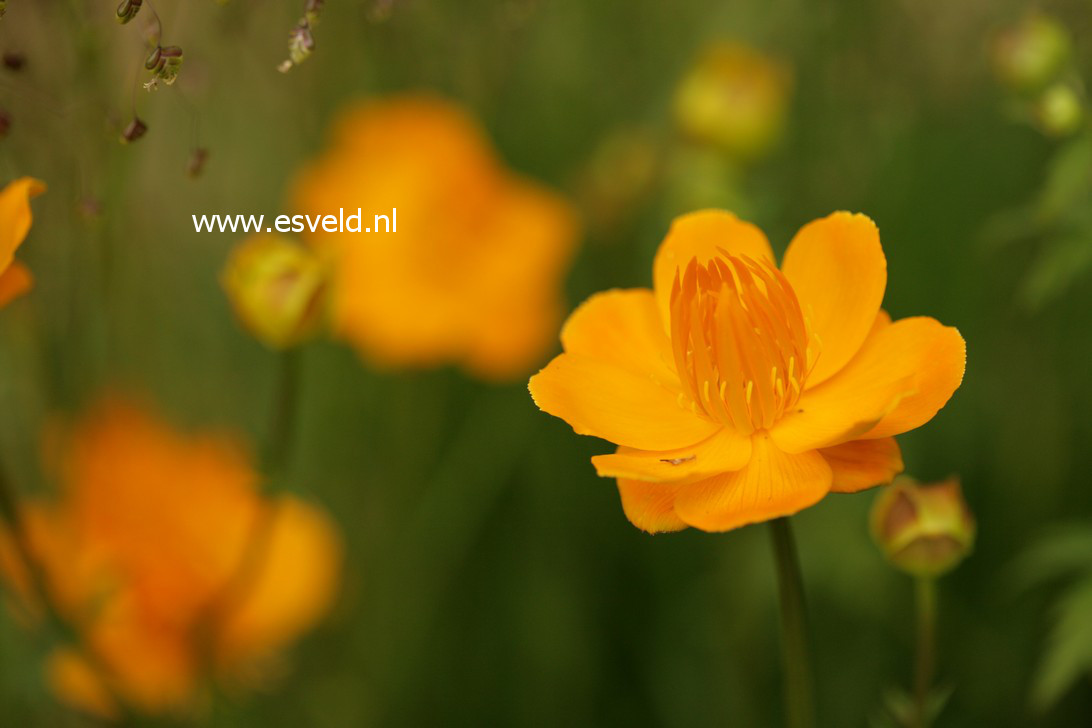 Trollius chinensis 'Golden Queen'
