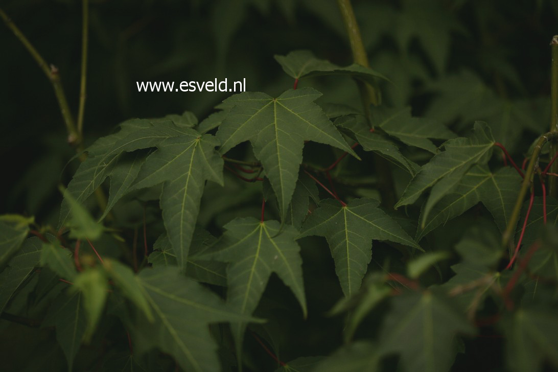 Acer pectinatum ssp. forrestii