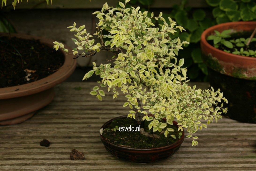 Ulmus parvifolia 'Geisha'
