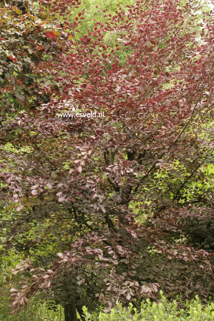 fagus sylvatica 39 purpurea tricolor 39. Black Bedroom Furniture Sets. Home Design Ideas