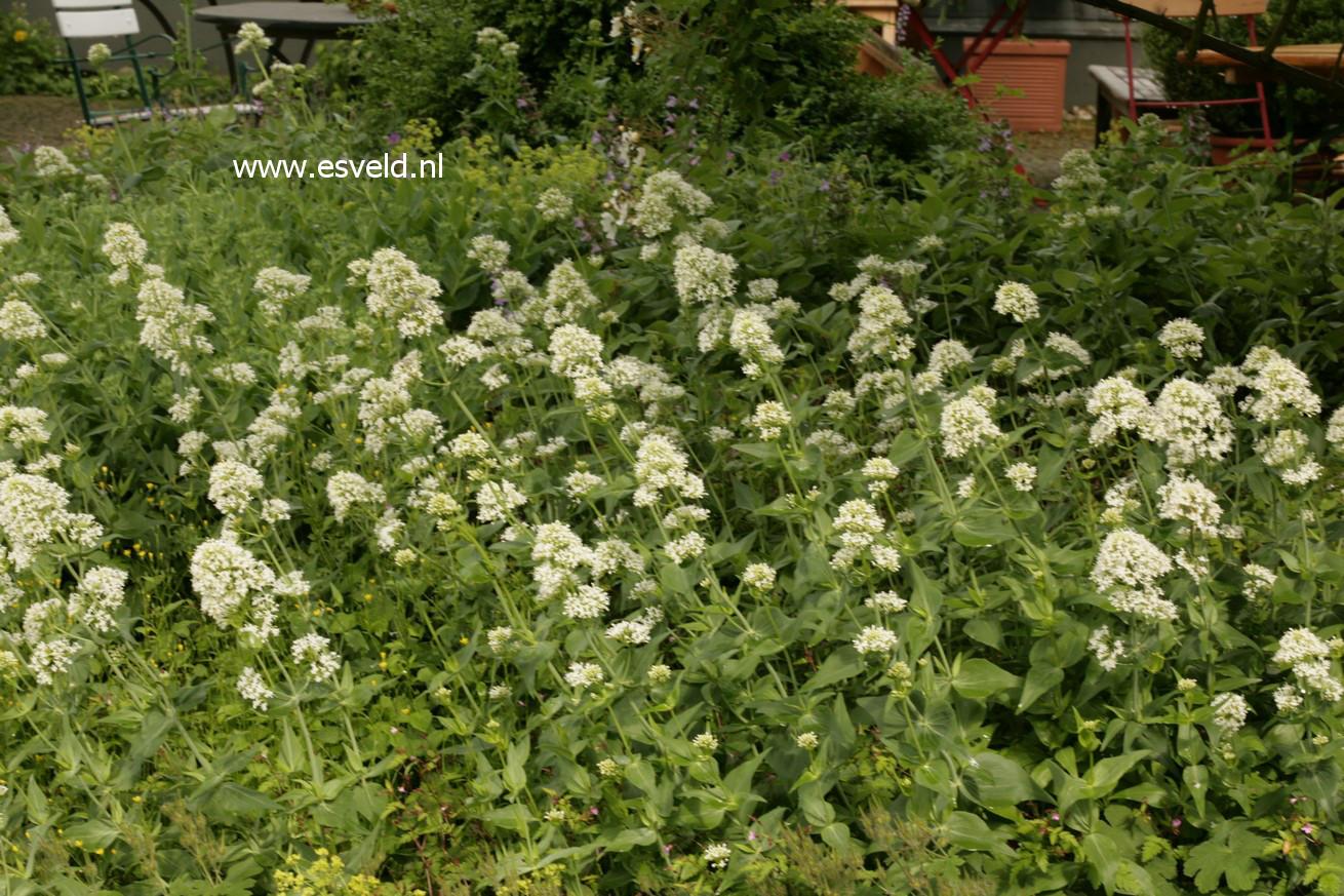 Centranthus ruber 'Albus'