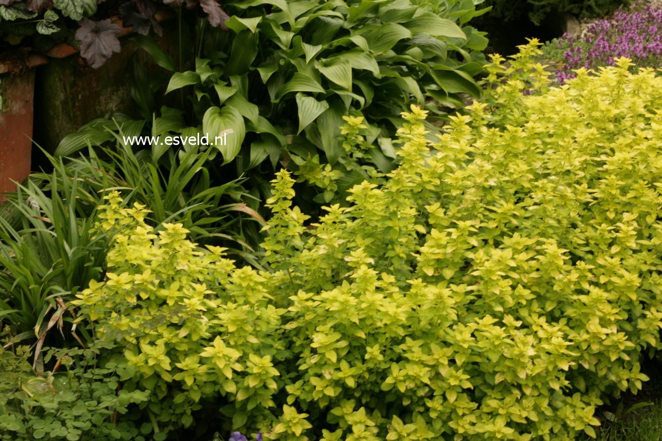 Origanum vulgare 'Thumble's Variety'