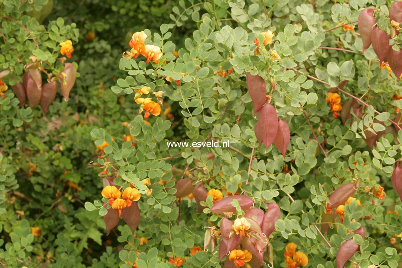 Colutea media 'Copper Beauty'