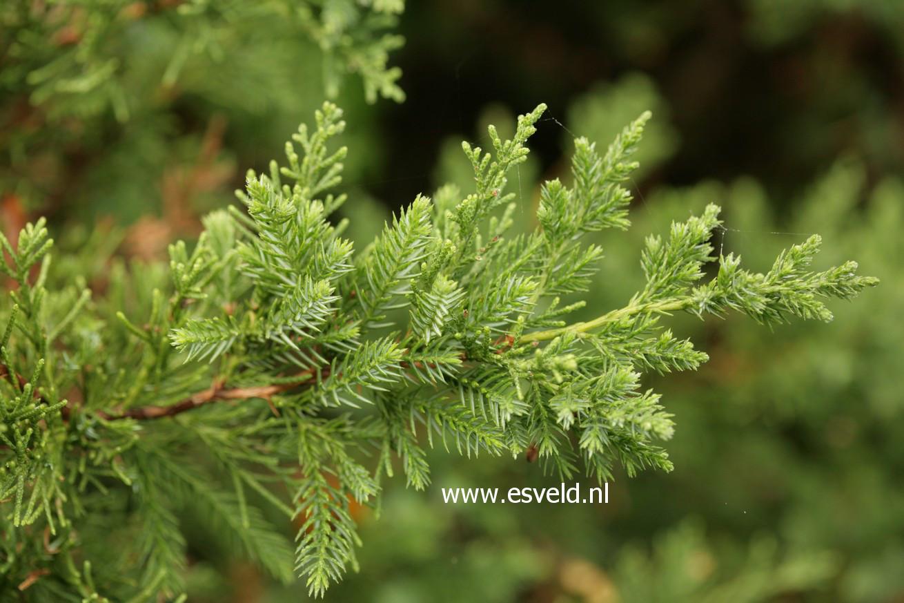 Juniperus chinensis 'San Jose'