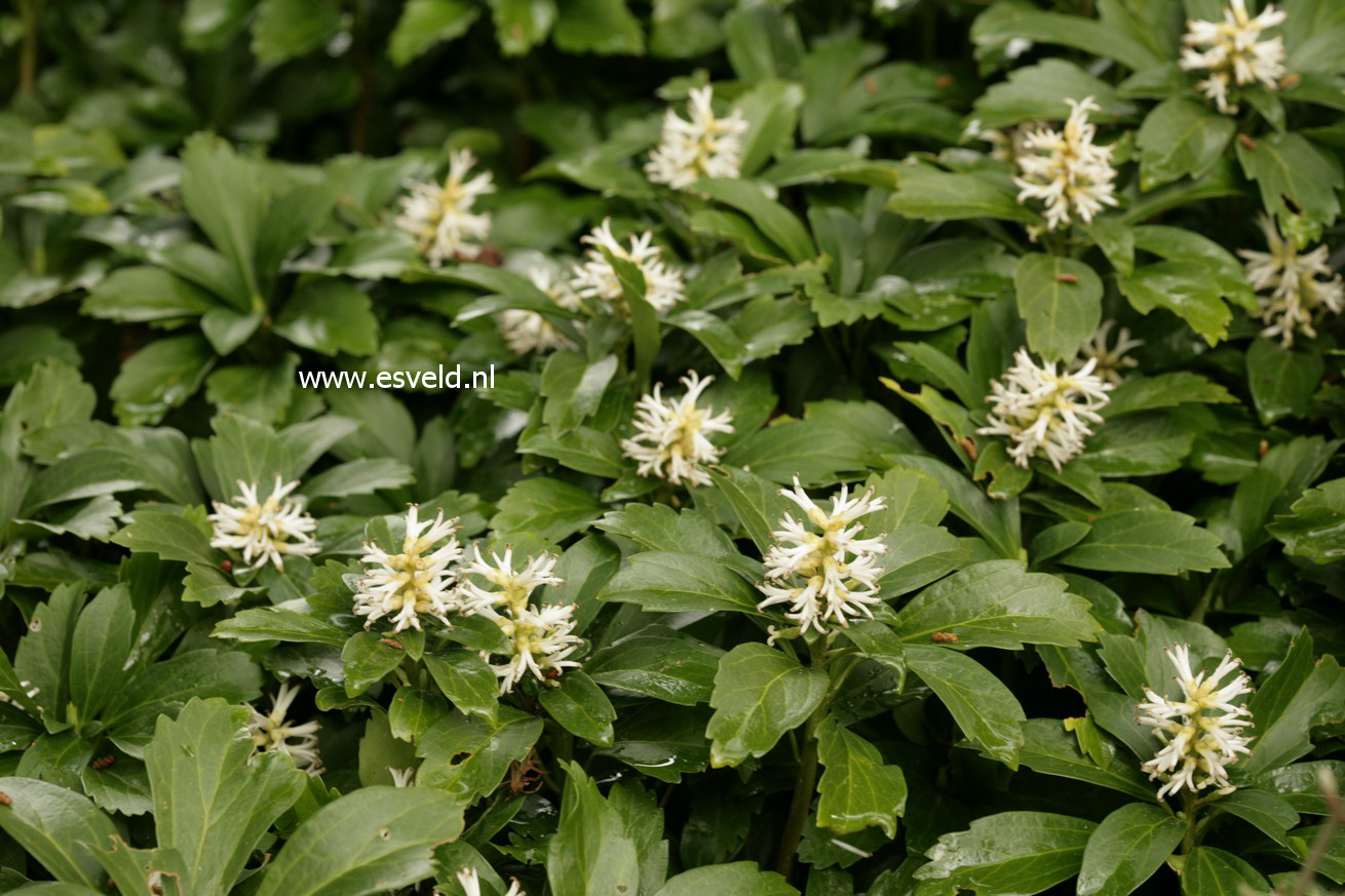 picture and description of pachysandra terminalis. Black Bedroom Furniture Sets. Home Design Ideas