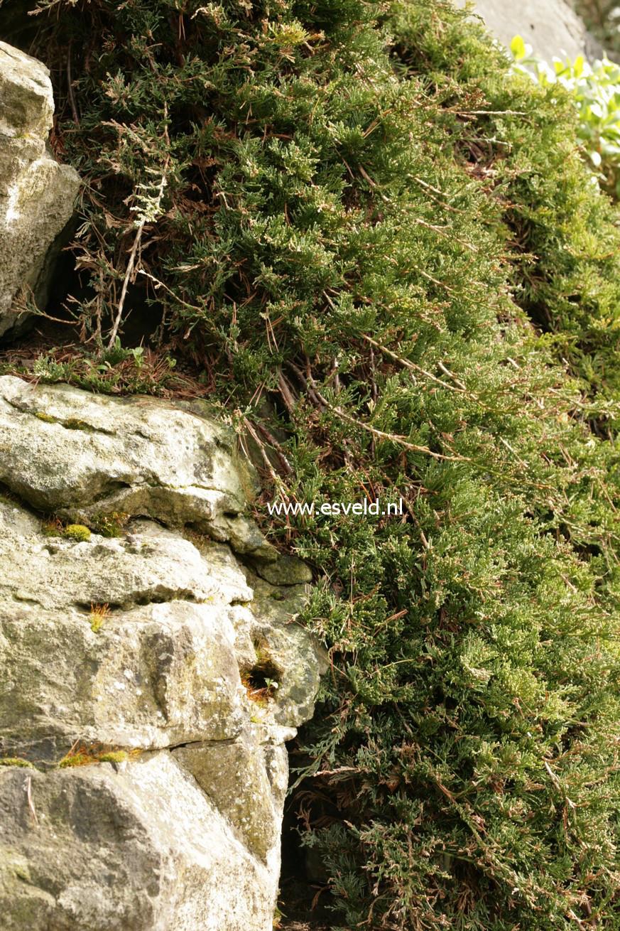 Juniperus horizontalis 'Wiltonii'