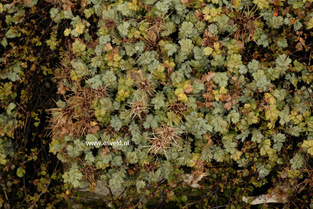 Acaena magellanica
