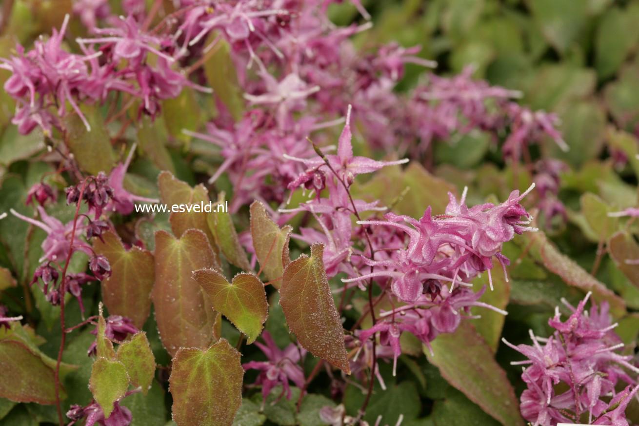 Epimedium grandiflorum 'Lilafee'